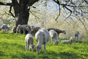 Meadow, Sheep, Graze, Cherry Trees by Herbert Kehrer