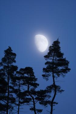 Moon, Trees, Jaws, Silhouette, at Night by Herbert Kehrer