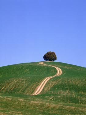 Oak tree on a field in the Tuscany by Herbert Kehrer