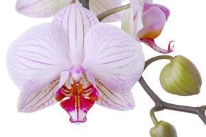 Orchid, Phalaenopsis Spec., Detail, Blooms, Buds by Herbert Kehrer