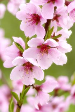 Peach-Tree, Branch, Detail, Blooms, Pink by Herbert Kehrer
