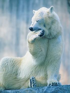 Polar bear yawning in zoo enclosure by Herbert Kehrer