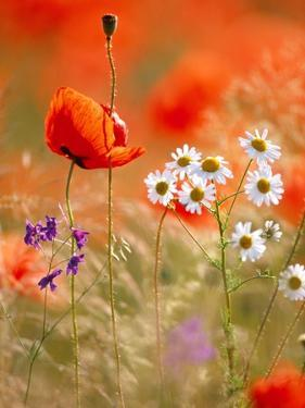 Poppy, camomile and larkspur by Herbert Kehrer