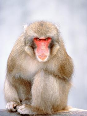 Red-faced makak by Herbert Kehrer