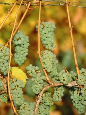 Riesling grapes hanging on vine shoots by Herbert Kehrer