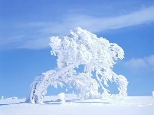Snow-Laden Tree in Black Forest Winter Scene by Herbert Kehrer