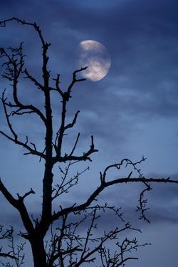 Tree, Bald, Silhouette, Heaven, Cloud, Moon, [M], Deciduous Tree, Old, Knobbily by Herbert Kehrer