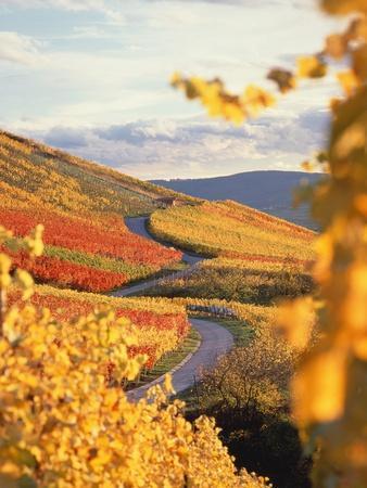 Vineyards in autumn in Esslingen/Neckar