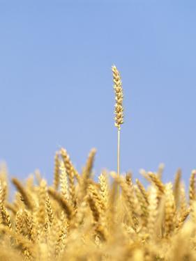 Wheat Field, Triticum Aestivum, Ears, Sky, Blue by Herbert Kehrer