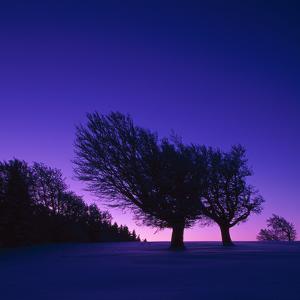 Winter-Landscape, Trees, Red-Beech, Fagus Sylvatica, Twilight by Herbert Kehrer