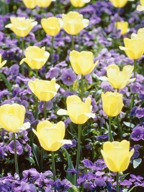 Yellow Tulips between Purple Pansys by Herbert Kehrer
