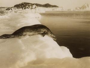 A Weddell Seal About to Dive at West Beach, Cape Evans, Antarctica, 1911 by Herbert Ponting