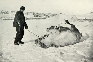 'Cherry-Garrard Giving His Pony 'Michael' A Roll in the Snow', c1911, (1913) by Herbert Ponting