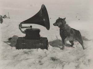 One of Scott's Sled Dogs Listens to a Gramaphone While on Expedition to the South Pole by Herbert Ponting