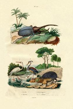 Hercules Beetle, 1833-39