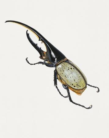 Hercules Beetle (Dynastes Hercules), Scarabaeidae. Artwork by Brin Edward