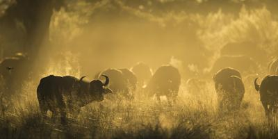 https://imgc.allpostersimages.com/img/posters/herd-of-african-buffalo-syncerus-caffer-silhouetted-in-mist-okavango-delta-botswana_u-L-Q13A7F90.jpg?p=0