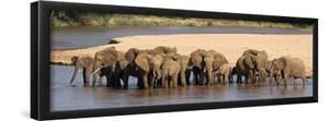 Herd of African Elephants at a River