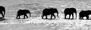 Herd of African Elephants (Loxodonta Africana) Crossing the River, Uaso Nyiro River