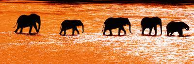 Herd of African Elephants (Loxodonta Africana) Crossing the River, Uaso Nyiro River