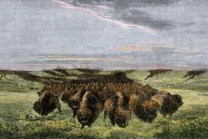 Herd of Bison Crossing a River Bottom on the Great Plains