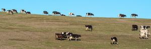 Herd of cows grazing on a hill, Point Reyes National Seashore, Point Reyes Peninsula, Marin Coun...