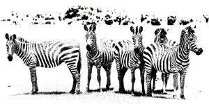 Herd of Stripes