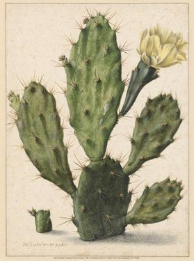 Flowering Prickly Pear Cactus, 1683 by Herman Saftleven