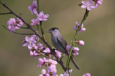 Blackcap male perched in blossom, Hungary