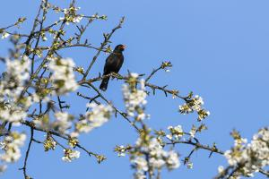 Blackcap male perched in blossom, Hungary by Hermann Brehm
