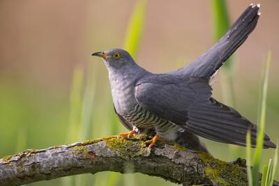 Cuckoo (Cuculus canorus) male, Germany, April.