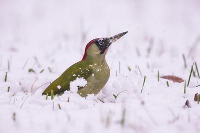 Green Woodpecker male, Germany, December