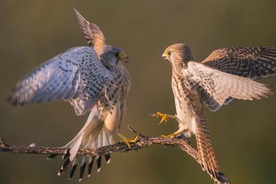 Kestrel (Falco tinnunculus) fighting Hungary