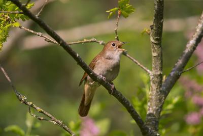 Nightingale singing, Germany
