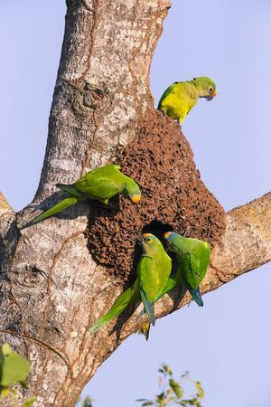 Peach-fronted parakeets (Aratinga aurea) at the nesthole in termite mount, Pantanal, Brazil.