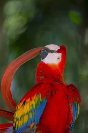 Scarlet Macaw (Ara macao) preening tail feather, Pantanal, Brazil