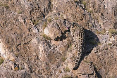 Snow Leopard rear view on rocks, Mongolia