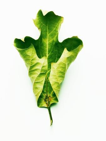 A Green Oak Leaf