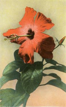 Hibiscus, Hawaii