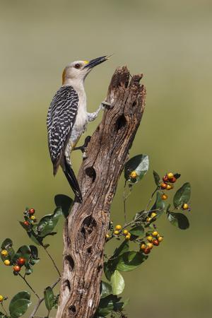 https://imgc.allpostersimages.com/img/posters/hidalgo-county-texas-golden-fronted-woodpecker-in-habitat_u-L-PU3EF70.jpg?p=0