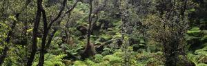High Angle View of Trees in a Rainforest, Hawaii Volcanoes National Park, Hawaii, USA