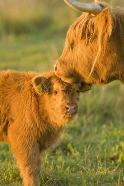 Highland Cattle, Adult with Young