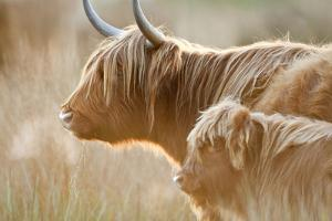 Highland Cattle Adult with Young