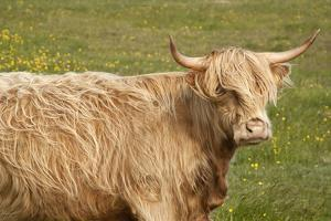 Highland Cattle Portrait Showing Head and Shoulders