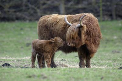 Highland Cow with Calf Calf Seeks Contact from Mother