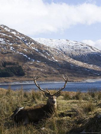 https://imgc.allpostersimages.com/img/posters/highland-red-deer-stag-laying-in-grass-with-mountainous-backdrop-the-highlands-scotland_u-L-Q10R7OM0.jpg?p=0