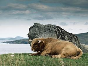 Highlander Bull