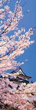 Hikone Castle W\Cherry Blossoms Shiga Japan