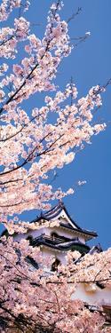 Hikone Castle W\Cherry Blossoms Shiga Japan