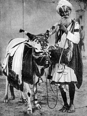 Hindu Cow with Sacred Cow, India, 1936